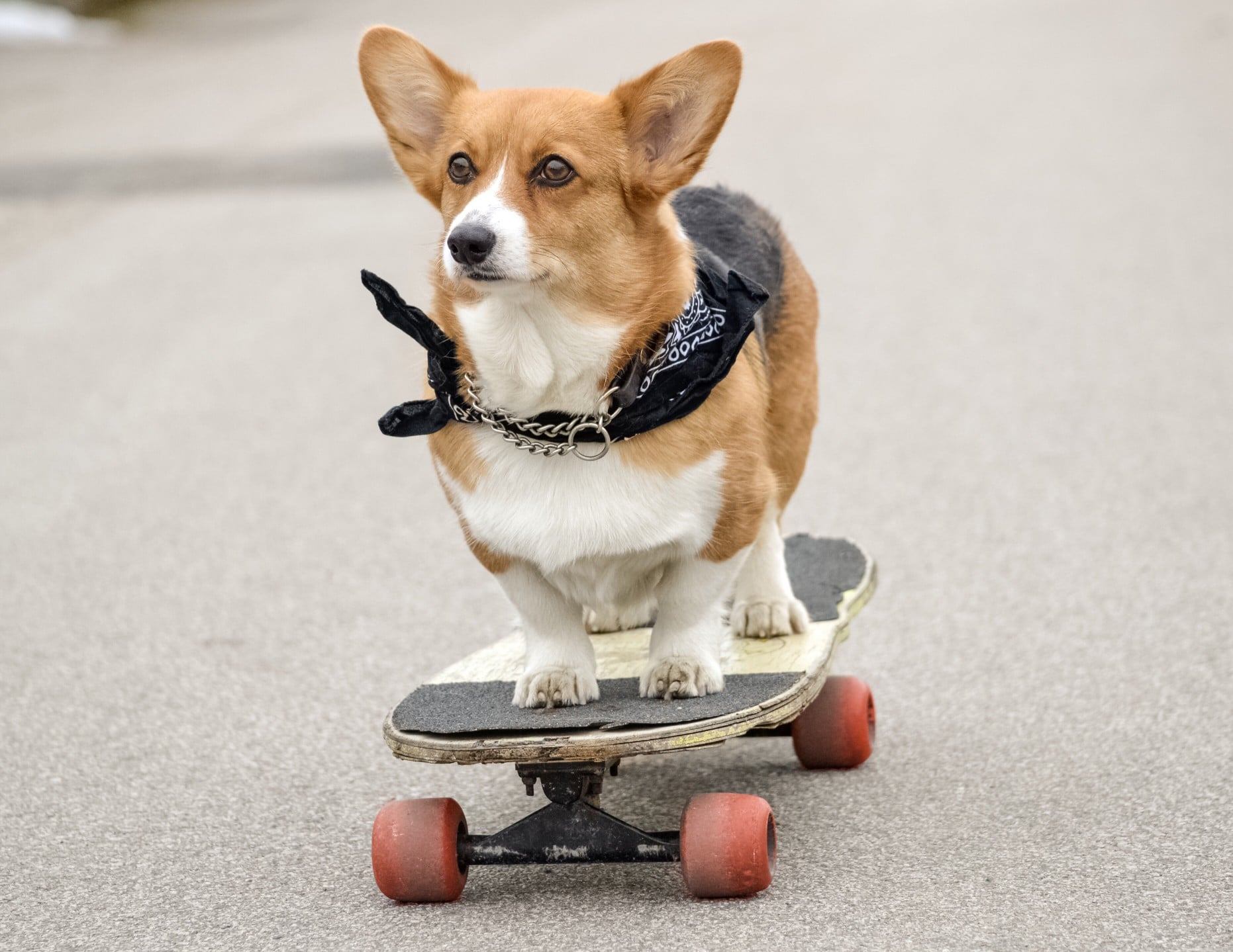 A dog riding a skateboard